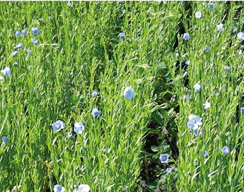 linseed or flaz plant
